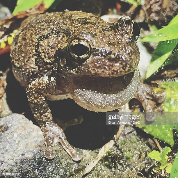 Close-Up Of Frog Croaking