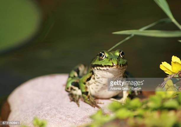 Close-Up Of Frog On Rock By Pond