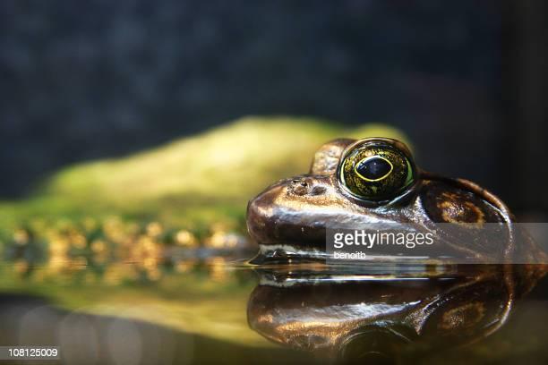 Nahaufnahme der Frosch Entspannen in Teich