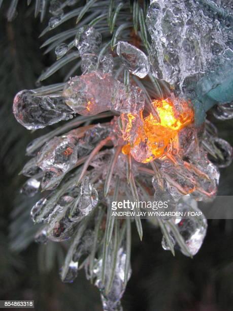 Close-up of frozen pine needles