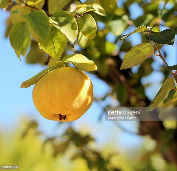 Close-Up Of Fruit Hanging On Tree