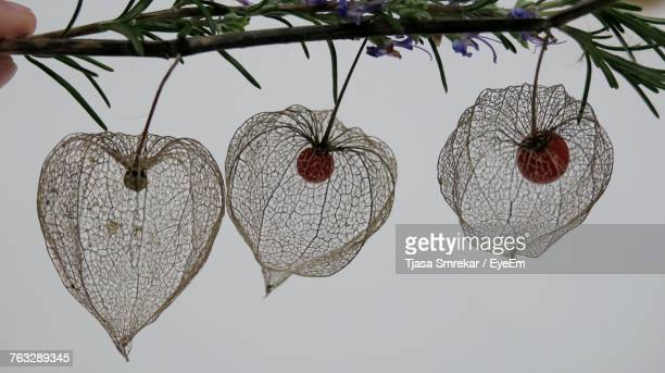 Close-Up Of Fruits Hanging Against Clear Sky