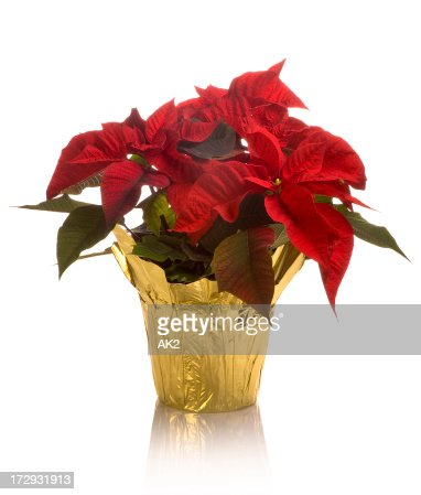 Close-up of full blossom poinsettia pot in golden wrap