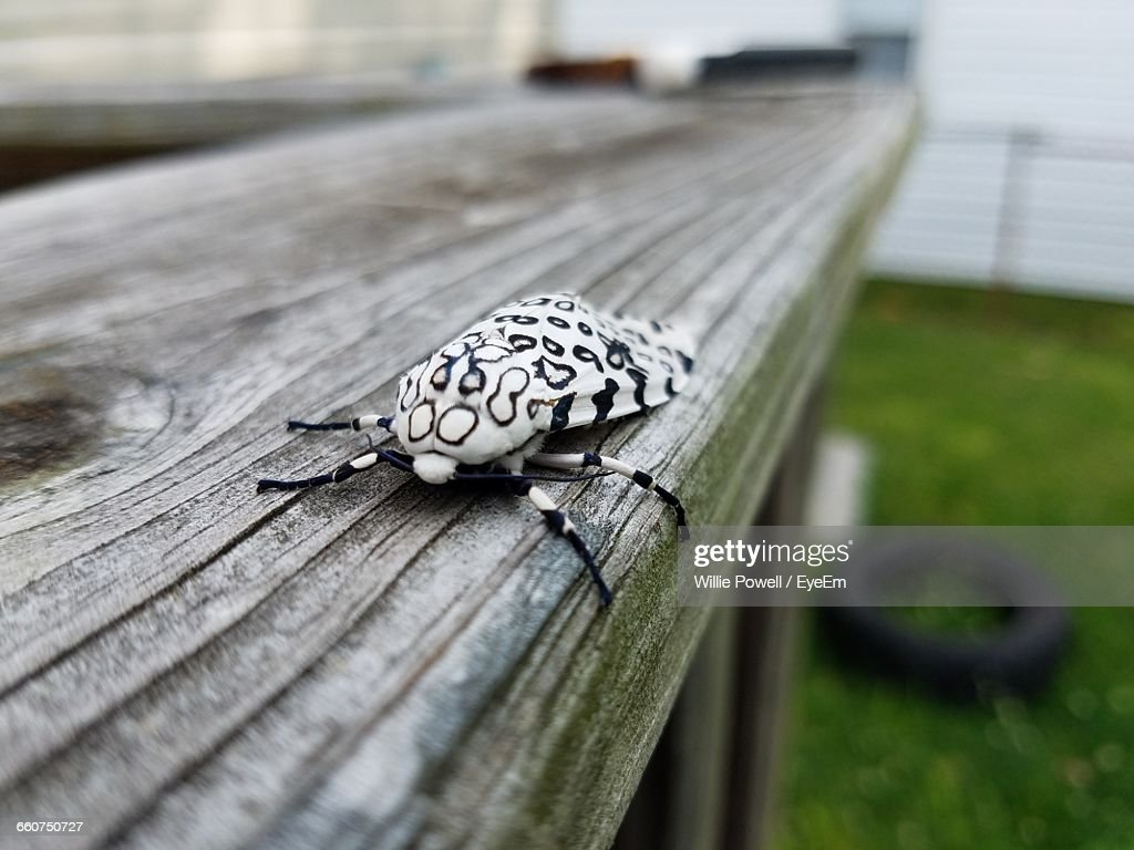 Close-Up Of Garden Tiger Moth On Railing In Back Yard