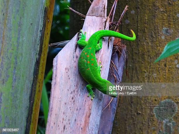 Close-Up Of Gecko On Wood