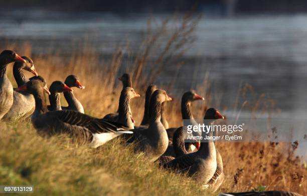 Close-Up Of Geese On Grass