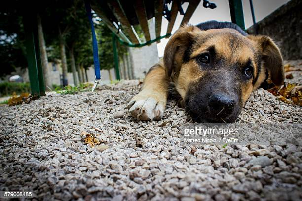 Close-Up Of German Shepherd Puppy Lying Down On Gravel