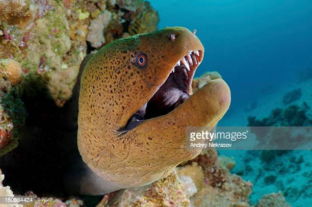 Close-up of Giant moray eel undersea, Red Sea, Egypt
