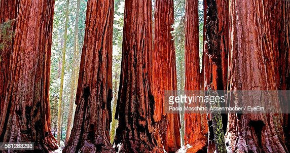 Close-Up Of Giant Sequoia Trees