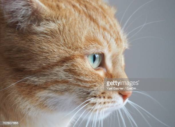 Close-Up Of Ginger Cat Against Gray Background