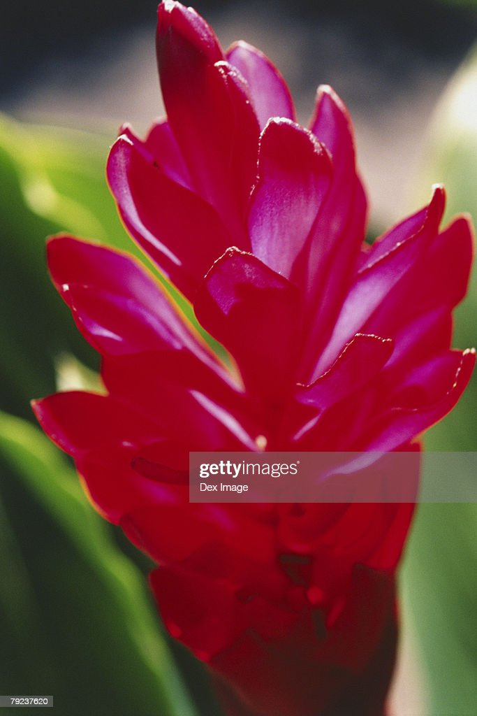 Close-up of ginger flower : Stock Photo