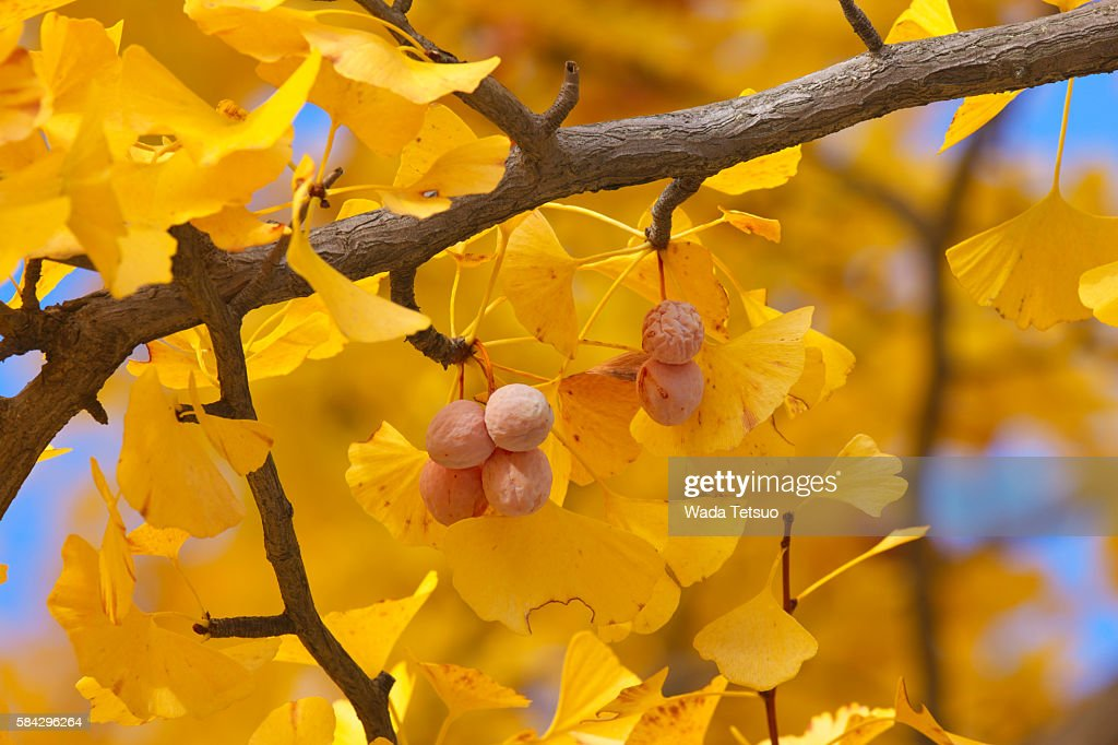 Close-up of gingko tree in autumn, Tokyo Prefecture, Honshu, Japan