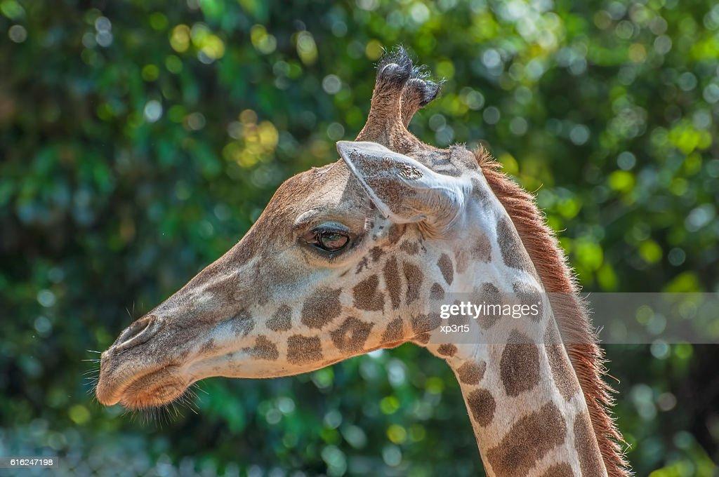 Primer plano de jirafa : Foto de stock