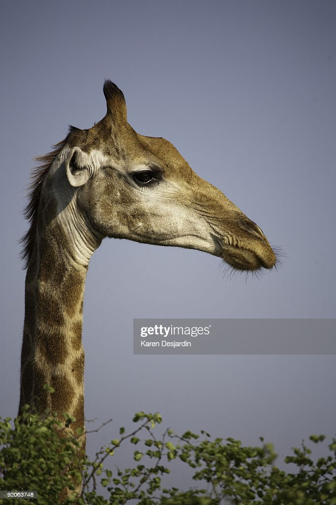 Close-up of giraffe, South Africa : Stock Photo