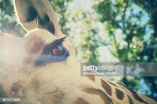 Close-up of Giraffes Eye