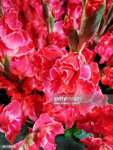 Close-Up Of Gladiolus Flowers Blooming Outdoors