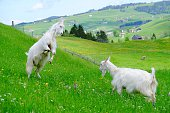 Close-Up Of Goats On Grassy Field
