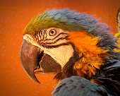 Close-Up Of Gold And Blue Macaw Against Orange Background
