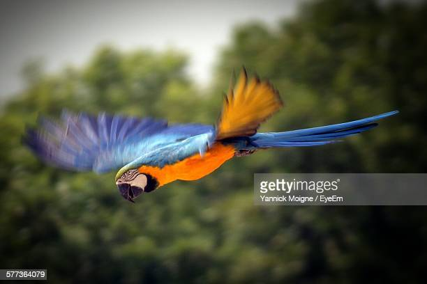 Close-Up Of Gold And Blue Macaw Flying Against Sky