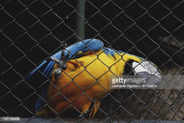 Close-Up Of Gold And Blue Macaw In Cage