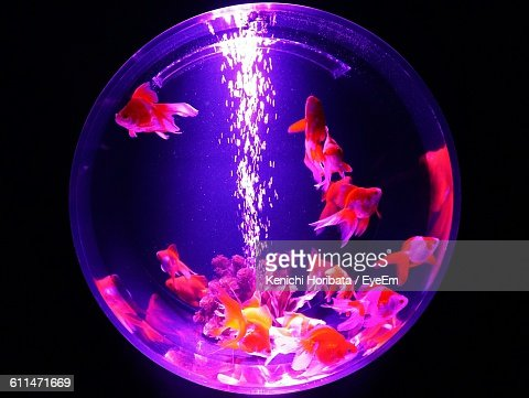 Close-Up Of Gold Fishes In Fishbowl Against Black Background