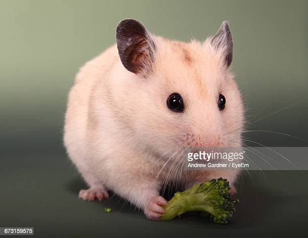 Close-Up Of Golden Hamster Eating Broccoli Against Colored Background