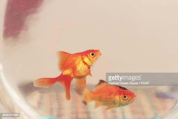 Close-up of goldfish