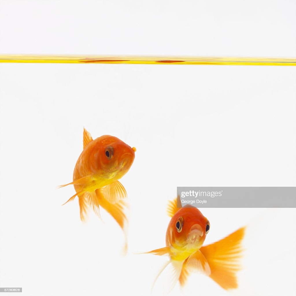Close-up of goldfish swimming in water : Stock Photo