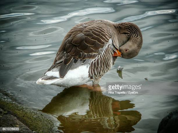 Close-Up Of Goose Grooming At Lakeshore