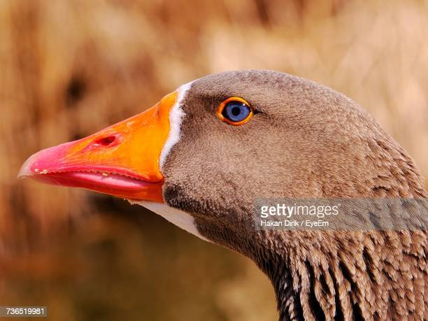 Close-Up Of Goose