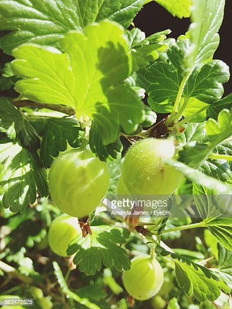 Close-Up Of Gooseberries On Tree