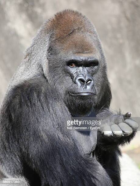 Close-Up Of Gorilla In Zoo