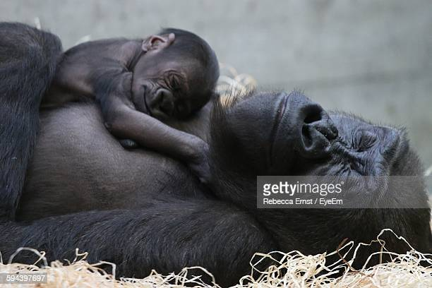 Close-Up Of Gorilla With Infant Relaxing On Field