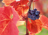 Close-up of grapes and red vineyard leaves. Hokkaido, Japan