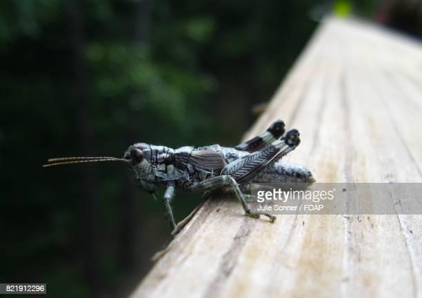 Close-up of grasshoper