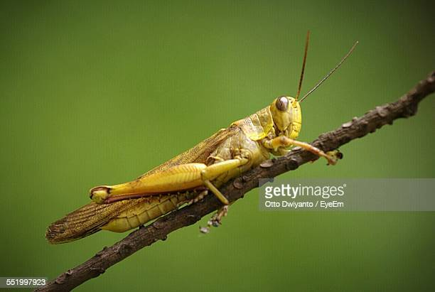 Close-Up Of Grasshopper On Branch