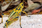 Close-Up Of Grasshopper On Rock In Forest