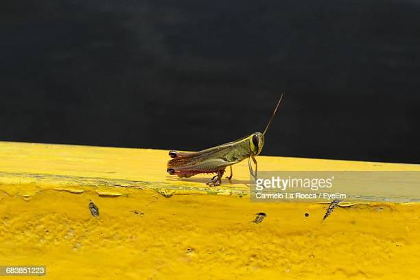 Close-Up Of Grasshopper On Yellow Wall