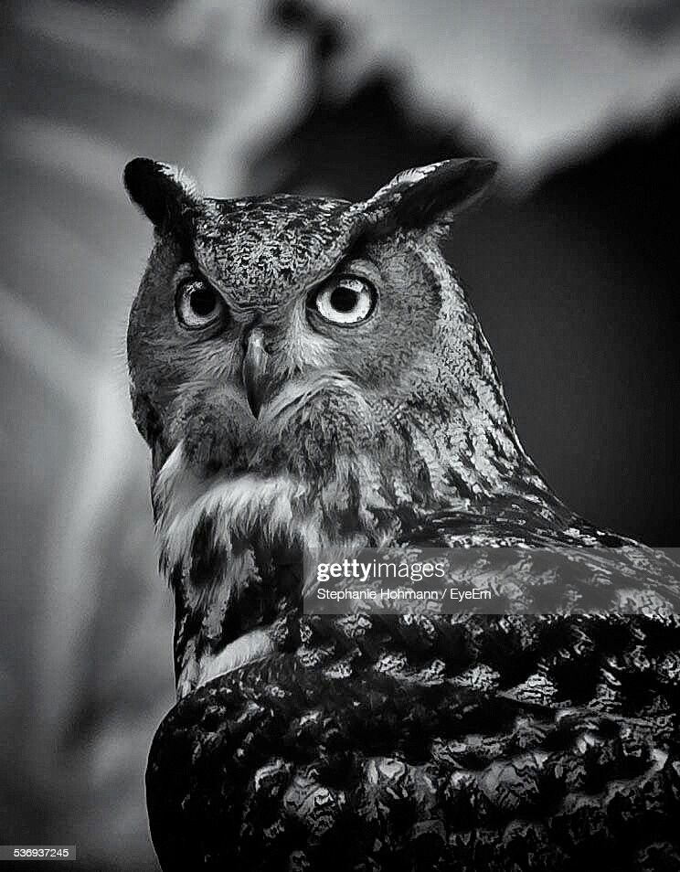 Close-Up Of Great Horned Owl In Forest