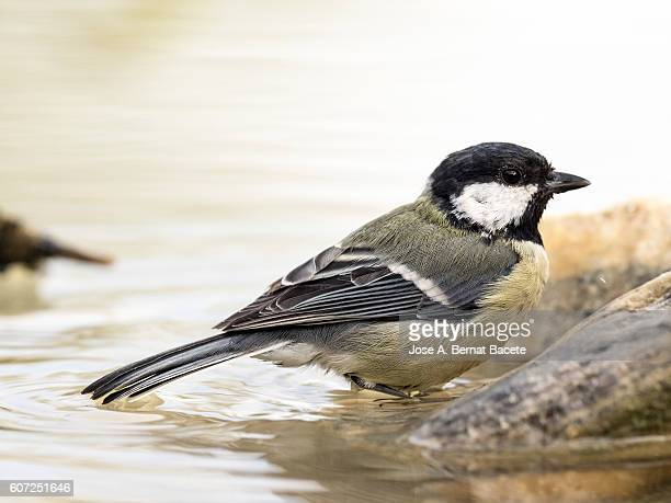 Close-Up Of Great Tit, (Parus major), Species (Paridae),Bathing inside a water puddle