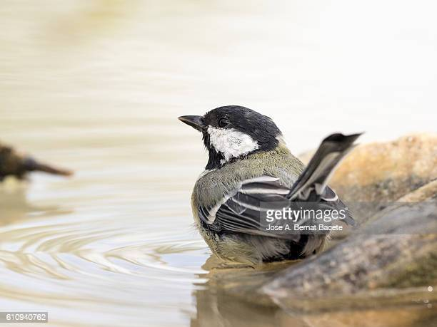 Close-Up Of Great Tit, (Parus major), Species (Paridae), Bathing inside a water puddle