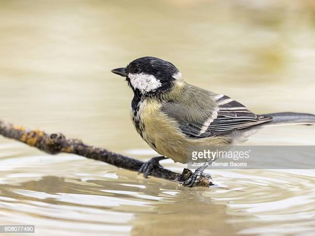 Close-Up Of Great Tit, (Parus major), Species (Paridae), on a branch in the water