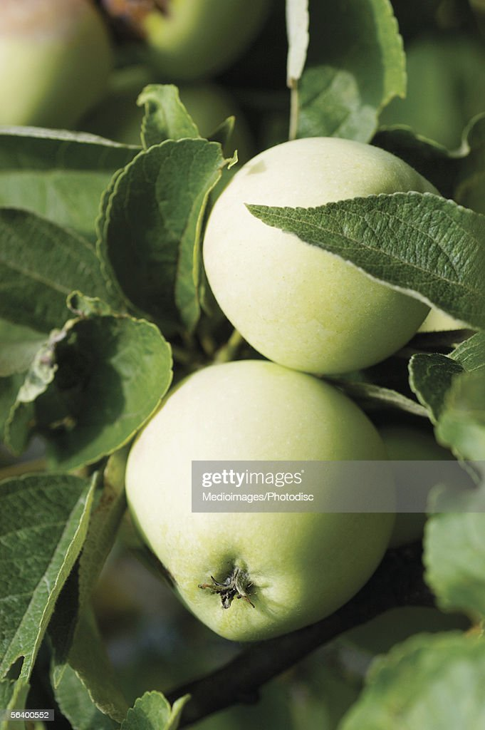 Close-up of green apples on tree