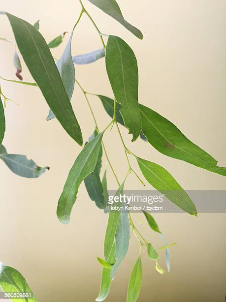 Close-Up Of Green Eucalyptus Leaves On Branch