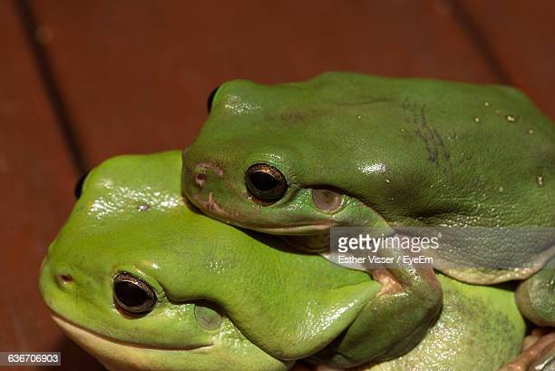 Close-Up Of Green Frogs Mating On Pier