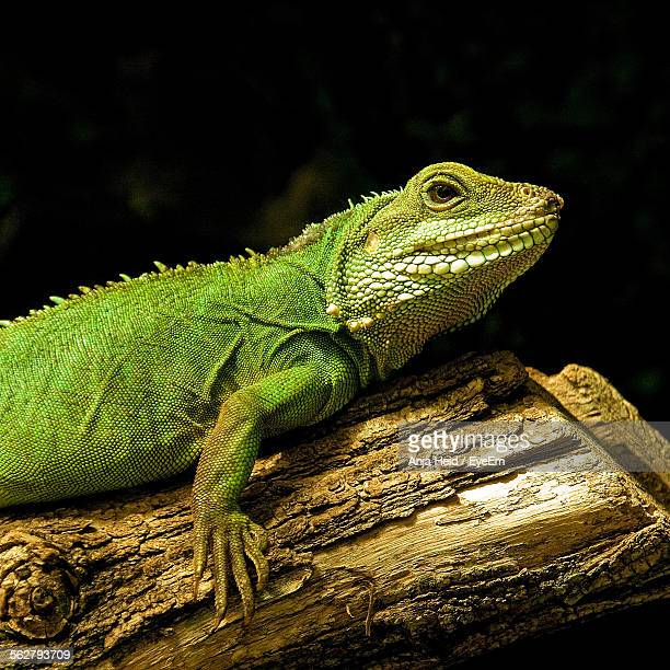 Close-Up Of Green Iguana On Log