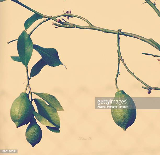Close-Up Of Green Lemon Tree Against Sky