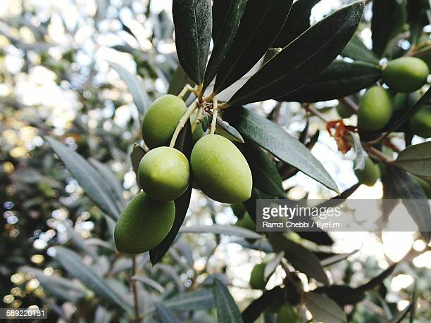 Close-Up Of Green Olives Growing On Tree
