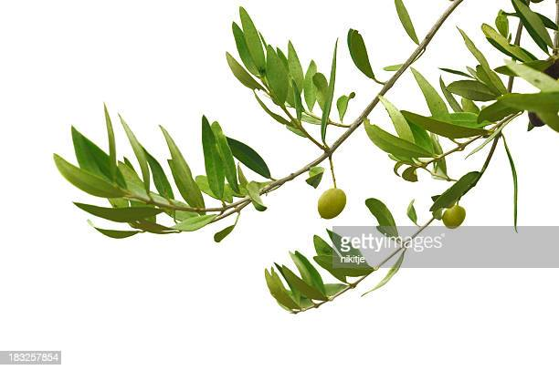 Close-up of green olives hanging on branches