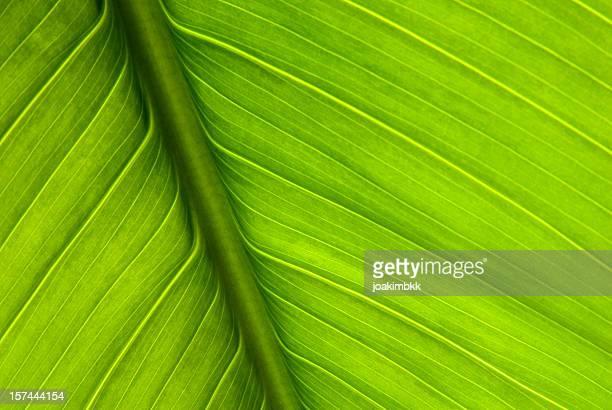 Leuchtendes Grün Nervatur in Makro